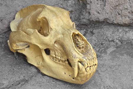 Bear Skull Close-up - HDR