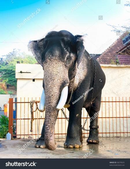 Indian elephant standing