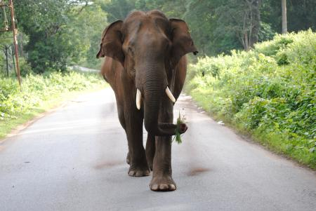Beautiful Giant Elephant on the Road