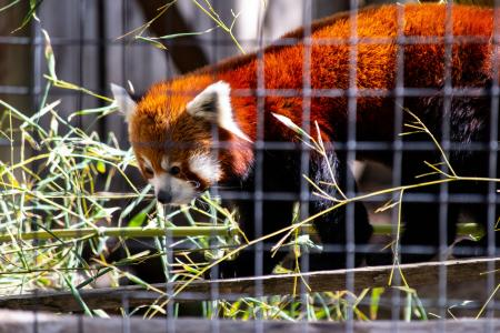 Beautiful little fox with bright red and orange coat walking at the zoo