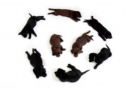 Black and Brown Labrador Puppies in a Circle Formation With 2 in the Middle