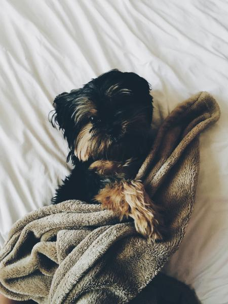Black and Brown Yorkie Laying on Bed With Brown Towel