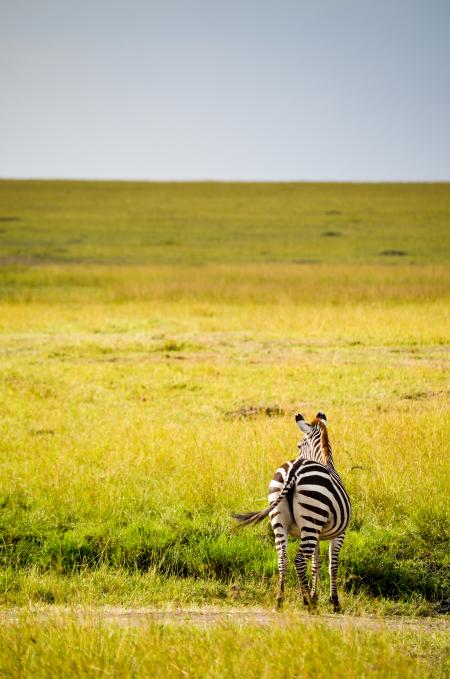 Black And White Zebra On Green Grass