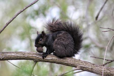 Black walnut, black squirrel