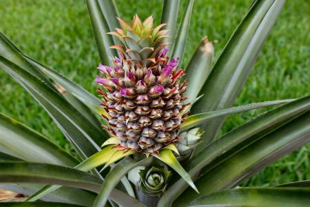 Blooming pineapple in the garden