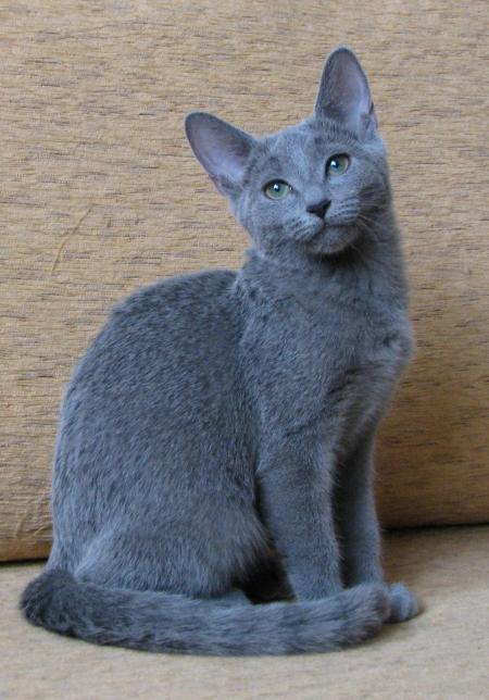 More Blue Cat