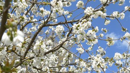 Blue Springtime Blossom