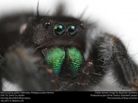 Bold jumping spider (Salticidae, Phidippus audax (Hentz))