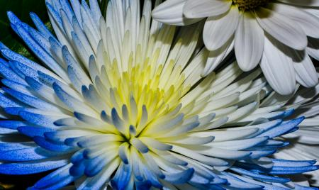 Bright flower with long blue and white petals