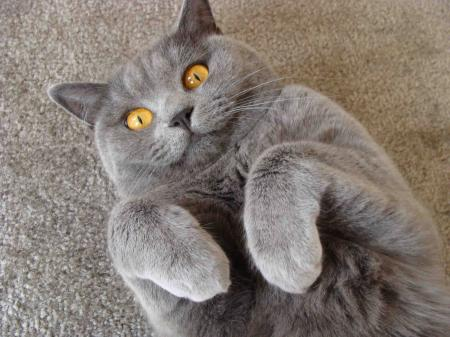 British Shorthair Playing