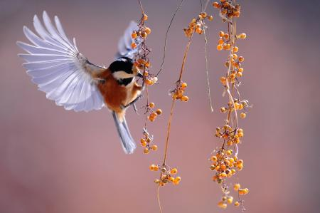 Brown and Grey Hummingbird Hovering over Orange Fruit