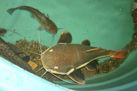 Bullhead meets Redtail Catfish