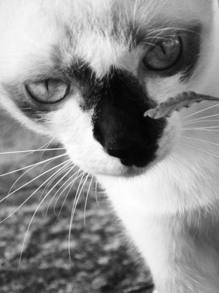 Burmese Cat Black and White