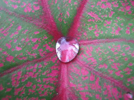 Caladium Leaf with Water Drop