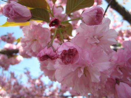 Cherry Blossoms Closeup 1