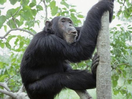 Chimp climbing