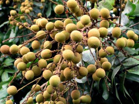 Chinese Long Yan Fruit