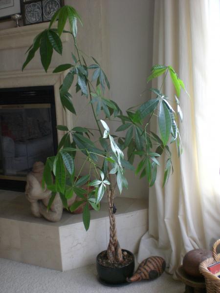 Chinese money tree