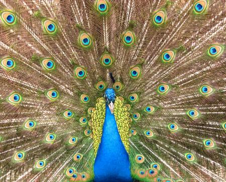 Close-up of a colorful peacock