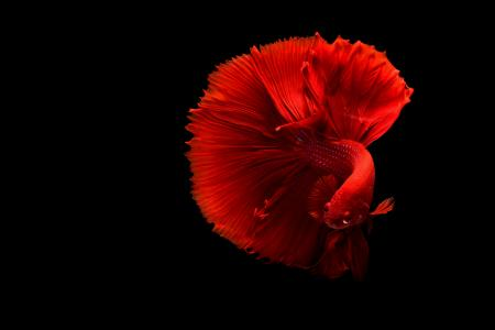 Close-up of a Red Siamese Fighting Fish