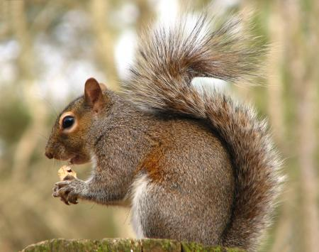Close-up of a squirrel eating a nut