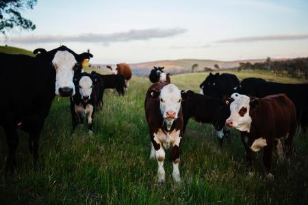 Close-up Photography of Cows