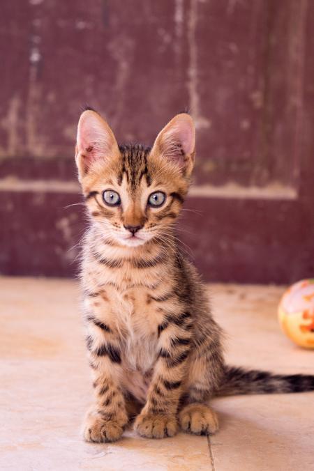 Closeup Up Photography of Dragon Li Kitten
