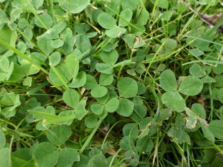 Clover leaves and grass