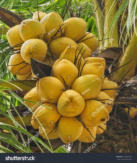 Coconut bunch