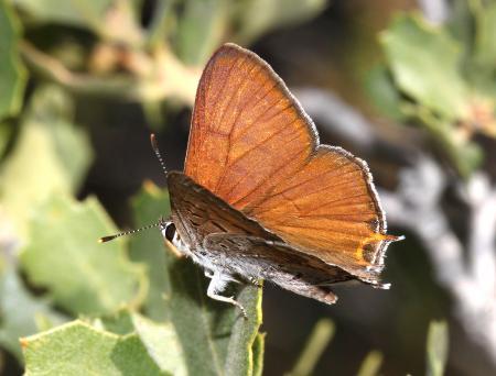 COPPER, TAILED (Lycaena arota) (6-30-10) male, 1.7 mile road, caliente ridge, carrizo plain nat mon (1)