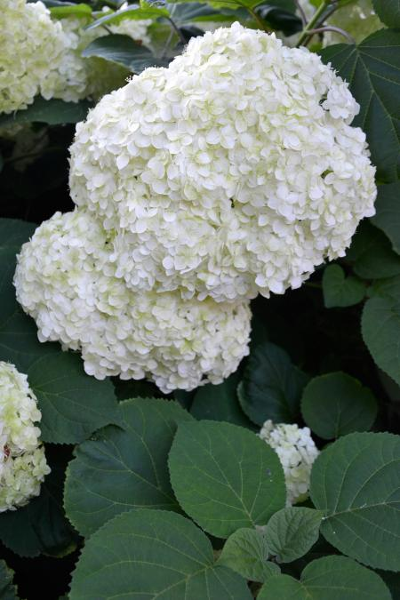 Corymbs of smooth hydrangea