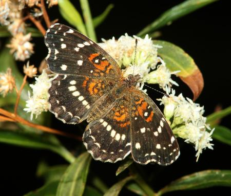CRESCENT, TEXAN (Anthanassa texana) (9-13-10) patagonia lake state park, scc, az -01