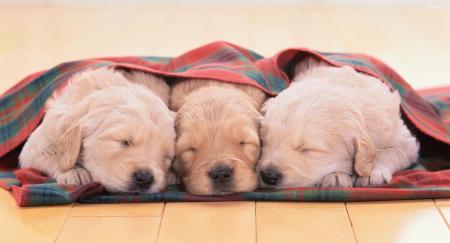 Sleeping Puppy b&w