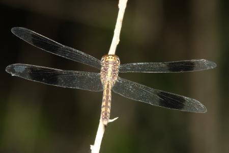 DRAGONLET, BAND-WINGED (Erythrodiplax umbrata) (3-7-12) santa anna national wildlife refuge, tx -04