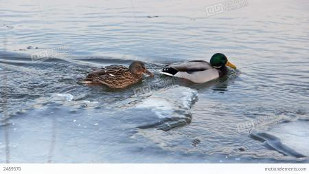 Duck in Ice