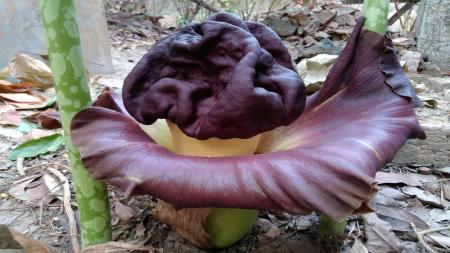 Elephant Yam Flower