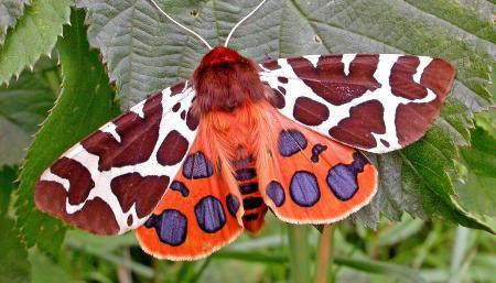 Exotic Moth