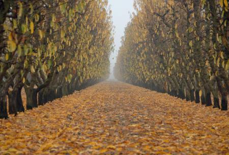 Fall Grove in the Fog