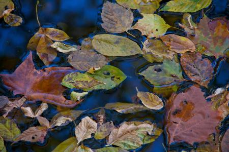 Fall Leaves on Still Water