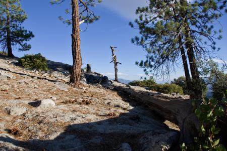 Fallen Tree in Needles