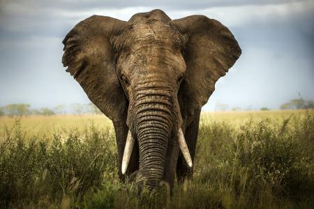 Ferocious Elephant