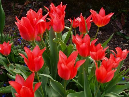Fiery red tulips