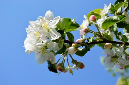 Flowering apple close-up on a background of blue sky