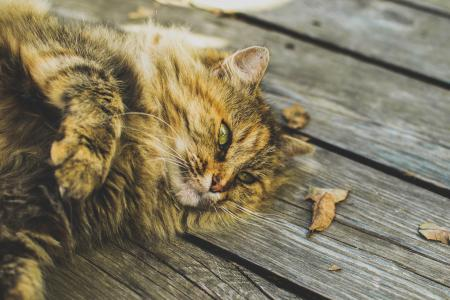 Fluffy Cat Laying on a Wooden Deck