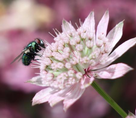 Fly on Pink Flower