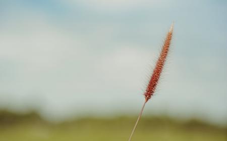 Fountain Grass Selective-focus Photo