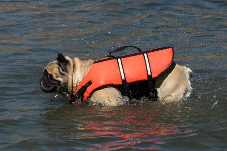 French bulldog in life jacket shaking off water