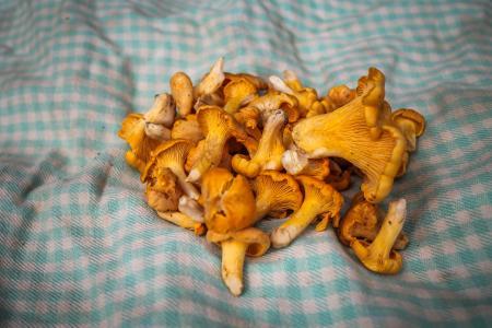 Freshly picked chanterelle mushrooms