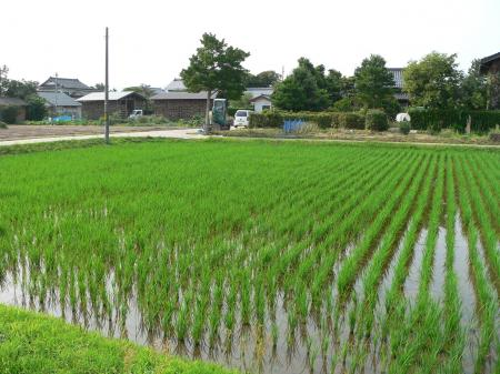 Freshly planted field of rice in Hikawa, Japan