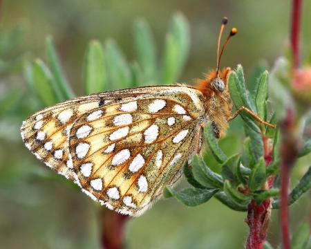 FRITILLARY, EDWARD'S (Speyeria edwardsii) (8-24-12) dunton meadow, near lizard head, dolores co, co (3)